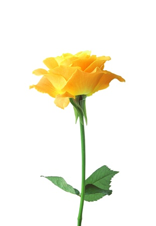 rose stem: Yellow single rose isolated on white