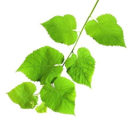 linden green branch isolated on white background Stock Photo - 10297381