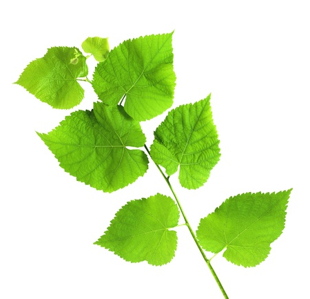 linden green branch isolated on white background Stock Photo - 10297384