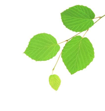 tilo: rama verde aislada sobre fondo blanco Foto de archivo