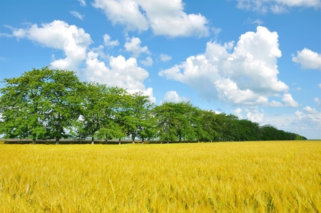 Golden wheat field, trees and perfect blue sky Stock Photo - 10570125