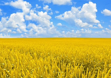Field of golden wheat and perfect cloud blue sky Stock Photo - 10649618