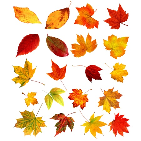 big collection beautiful colourful autumn leaves isolated on white background  photo