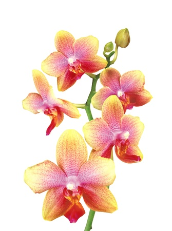 botanical branch: Beautiful pink and yellow orchid isolated on white background Stock Photo