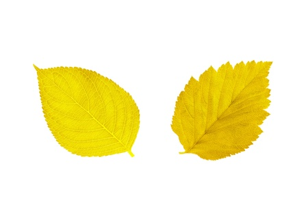 beautiful golden autumn leaves isolated on white background Stock Photo - 10649628