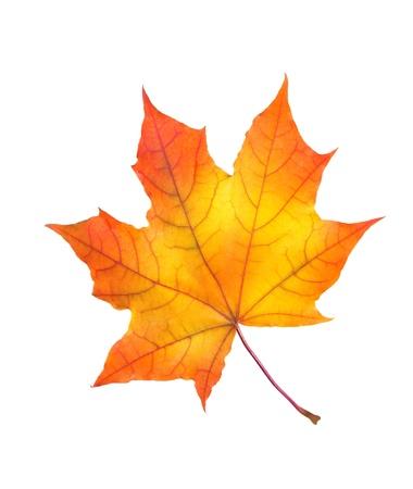Piękny kolorowe jesienią liść klonu samodzielnie na białym tle