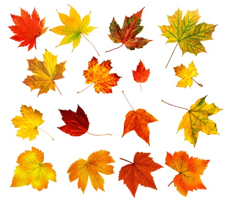 big collection of beautiful colourful autumn leaves isolated on white background  Stock Photo
