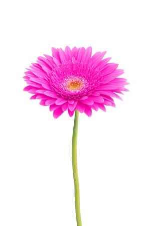 beautiful pink gerbera daisy flower isolated on white background Stock Photo - 10873132