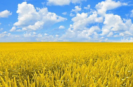 Field of golden wheat and perfect blue sky photo