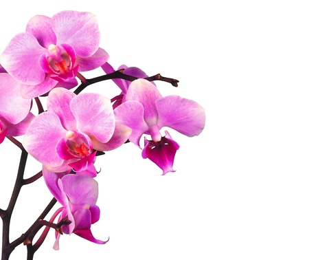beautiful pink orchid isolated on white background photo
