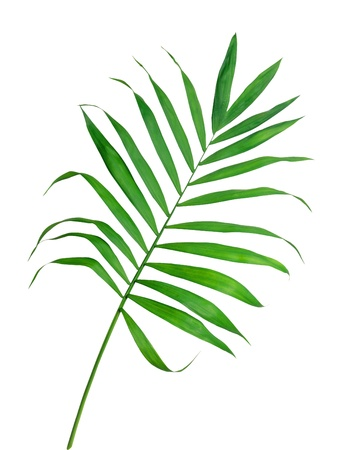 Green leaf of fern isolated on white Stock Photo - 10976231