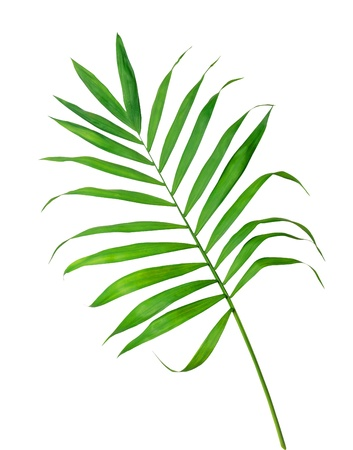 Green leaf of fern isolated on white Stock Photo - 11097404