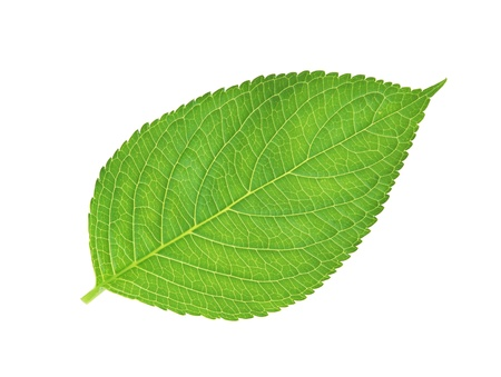 green leaf , macro, isolated on white Stock Photo - 11097411