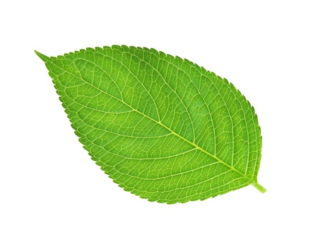 green leaf , macro, isolated on white Stock Photo - 11170448