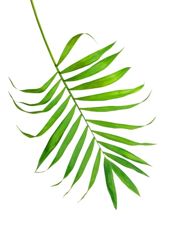 Green leaf of fern isolated on white Stock Photo - 11286497