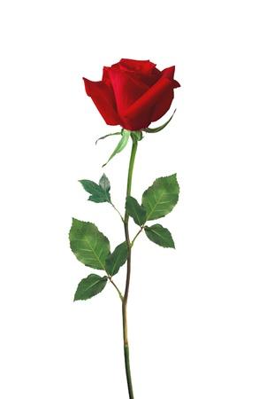 tallo: hermosa rosa roja aislado en blanco Foto de archivo
