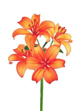 Beautiful red lily flowers isolated on white background