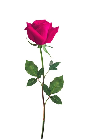 single rose: Pink Rose isolated over white background