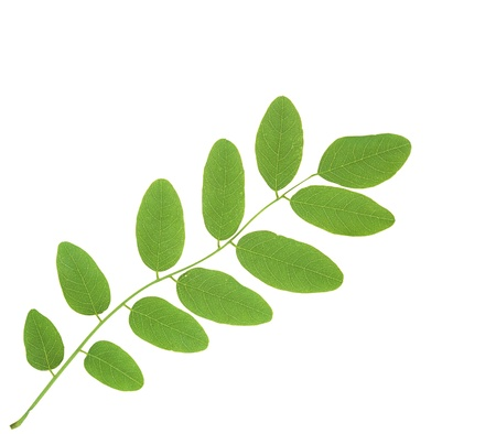 linden green leaves isolated on white background Stock Photo - 11465362