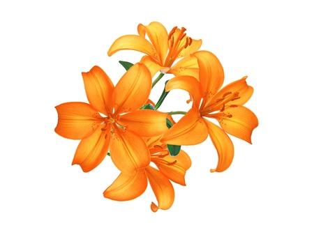 oranje lelie: Mooie oranje lelie bloemen geïsoleerd op witte achtergrond Stockfoto