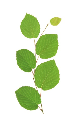linden green leaves isolated on white background Stock Photo - 11465305