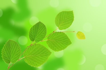 linden green leaves over nature background  photo