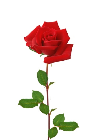Beautiful red rose isolated on white background photo