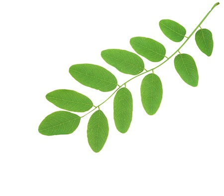 linden green leaves isolated on white background Stock Photo - 11465260