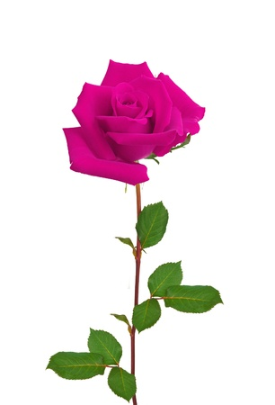 compliment: Beautiful single pink rose isolated on white background Stock Photo