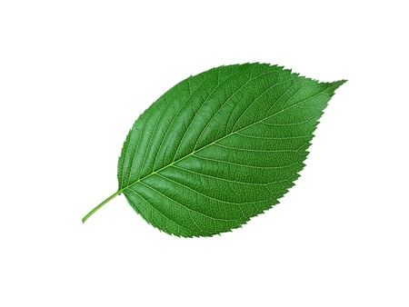 Beautiful green leaf isolated on white Stock Photo - 11465128
