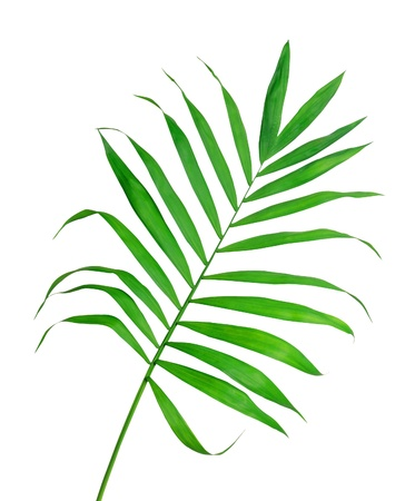 Green leaf of fern isolated on white Stock Photo - 11465032