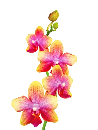 phalaenopsis: beautiful orchid isolated on white background