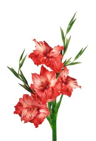 Beautiful red gladiolus isolated on white Stock Photo