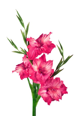 Beautiful pink gladiolus isolated on white background