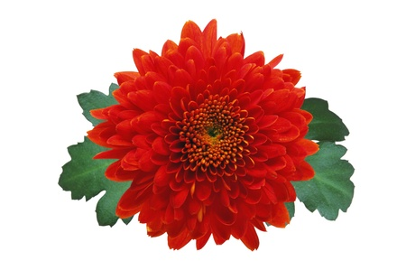 Red autumn chrysanthemum isolated on white Stock Photo - 12445917