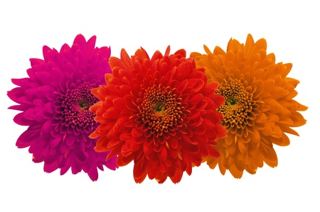 Beautiful autumn chrysanthemum flowers isolated on white Stock Photo - 12445931