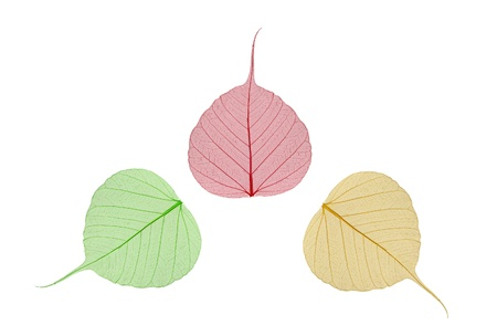 green, yellow and red leaves bodhi , macro, isolated on white photo
