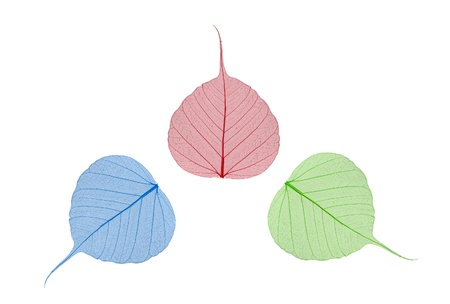 green, blue and red leaves bodhi isolated on white photo