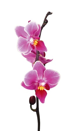 Flower beautiful pink orchid - phalaenopsis isolated on white Stock Photo - 13965716