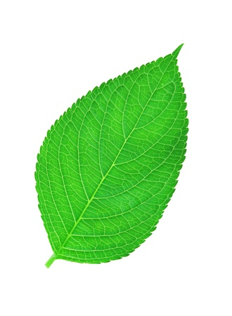 green leaf , macro, isolated on white Stock Photo - 14068099