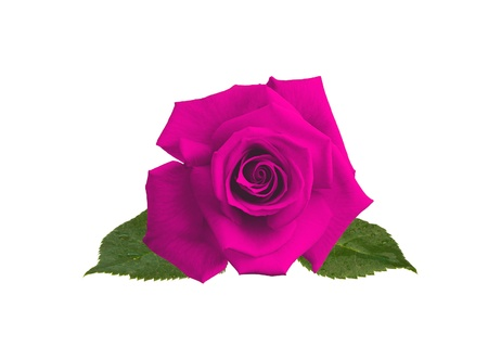beautiful pink rose isolated on white background Stock Photo - 14166775