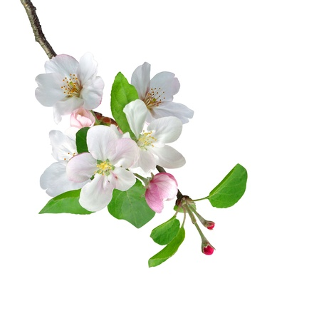 White apple flowers branch isolated on white background photo