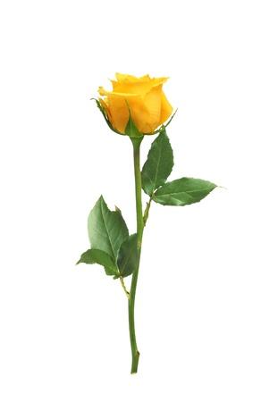 beautiful yellow rose isolated on white background