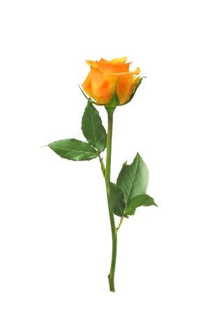 beautiful orange rose isolated on white background 스톡 콘텐츠