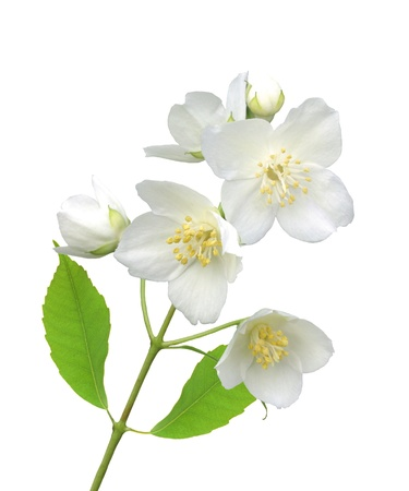 beautiful jasmine flowers with leaves isolated on white Stock Photo