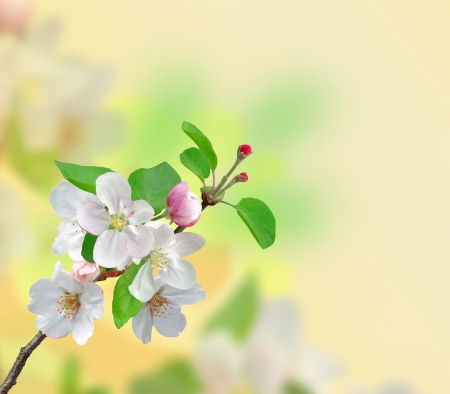 apple blossom: Closeup of Apple blossoms over nature background Stock Photo