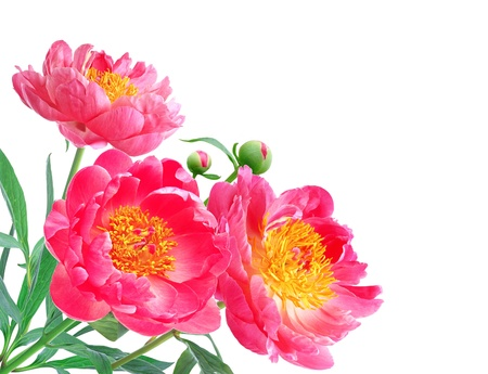 Peony Flowers Bouquet over white background photo
