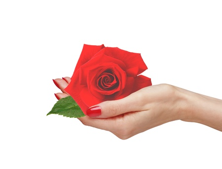 Red rose in woman hand isolated on white background  photo