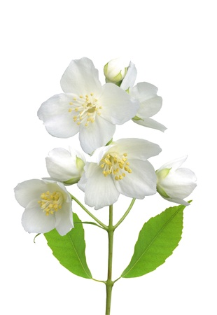 beautiful jasmine flowers with leaves isolated on white photo