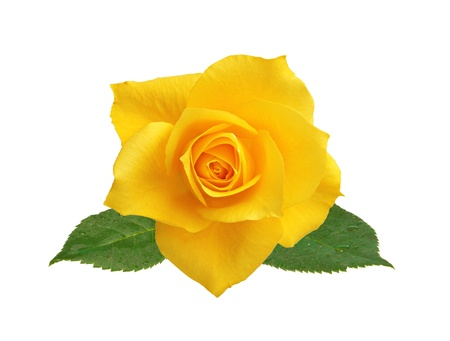 beautiful yellow rose with leaves isolated on white background